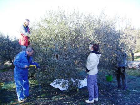 Picking olives in Provence